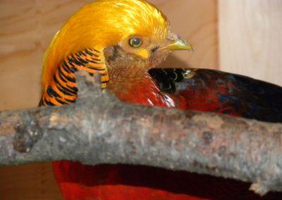 golden-pheasants (1)