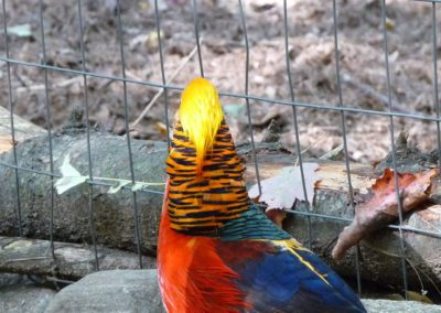 golden-pheasants (13)