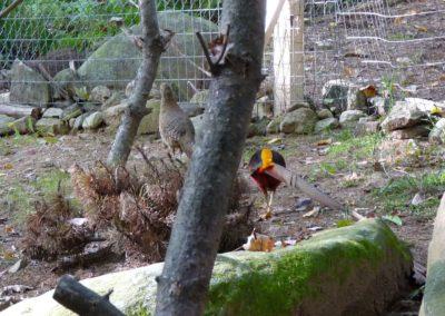 golden-pheasants (15)