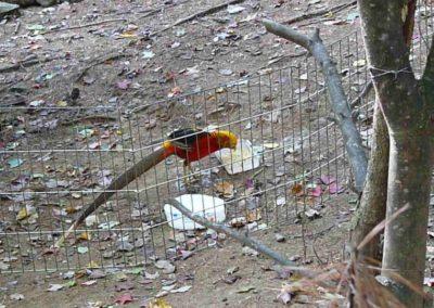 golden-pheasants (16)