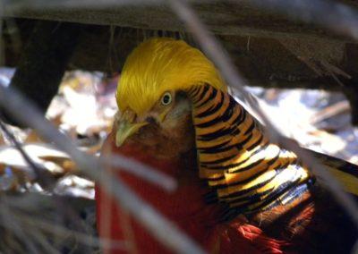 golden-pheasants (17)