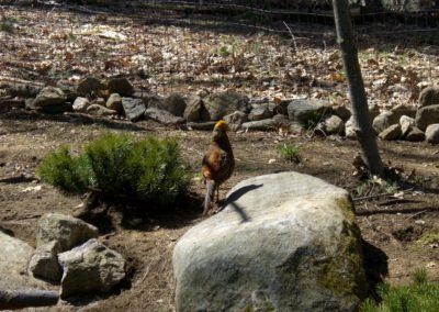 golden-pheasants (18)
