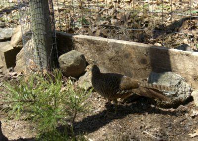 golden-pheasants (20)