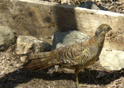 golden-pheasants (21)