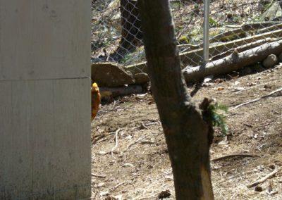 golden-pheasants (22)