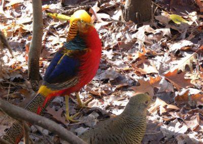 golden-pheasants (23)