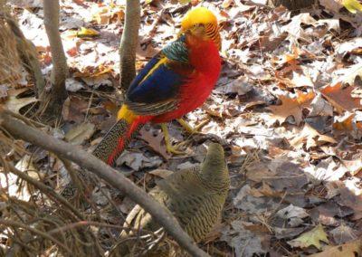 golden-pheasants (25)