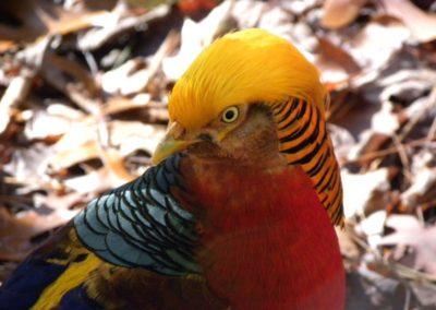 golden-pheasants (26)