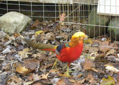 golden-pheasants (27)