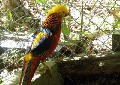 golden-pheasants (3)