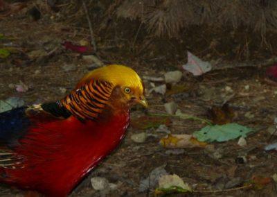 golden-pheasants (5)