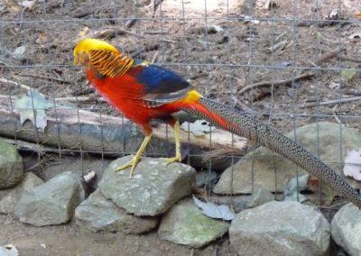 golden-pheasants (6)