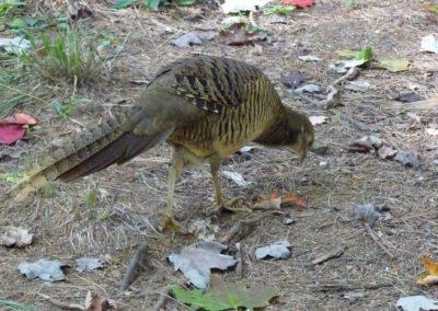 golden-pheasants (8)